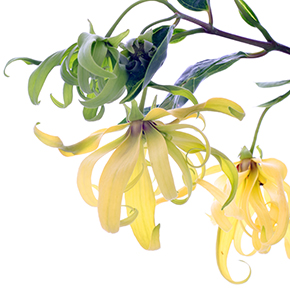 Ylang Ylang Fragrance Oil
