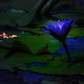 Midnight Lotus Fragrance Oil Fnwl